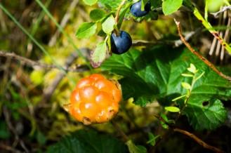 Hjortron Florarna Upplandsleden Foto Gunnika